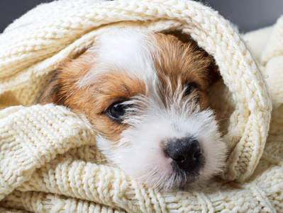 Puppy Jack Russell Terrier sleeps in a cozy blanket
